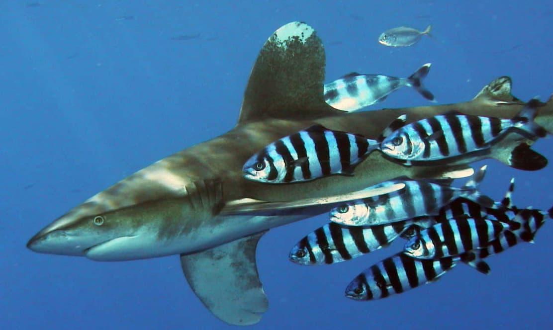 Requin Longiman